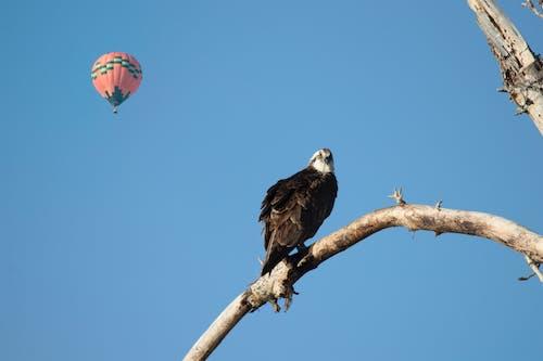 Free stock photo of baloon flight, osprey, wildlife