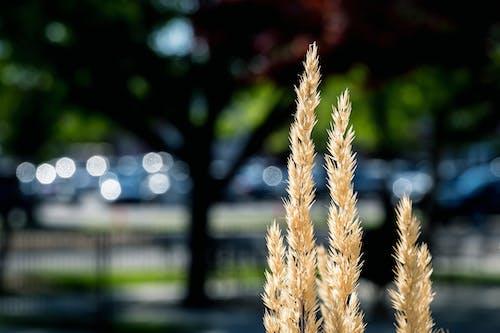 Ilmainen kuvapankkikuva tunnisteilla auringonvalo, aurinkoinen, botaniikka, calamagrostis epigejos
