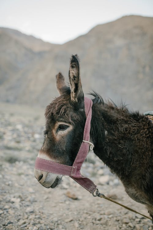 Muzzle of donkey with textile bridle on dry barren terrain near mounts under white sky