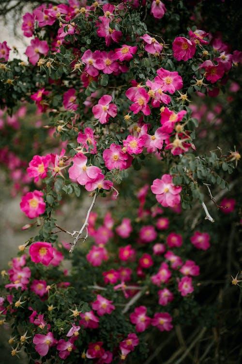 Ingyenes stockfotó alpesi rózsa, aromás, békés, bokor témában