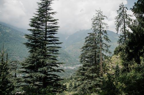 Świerki Rosnące Na Zboczu Góry W Dzikiej Dolinie