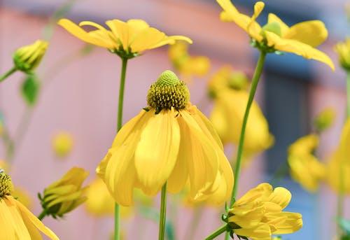 Gratis lagerfoto af blomster, blomstermotiv, flora, gul