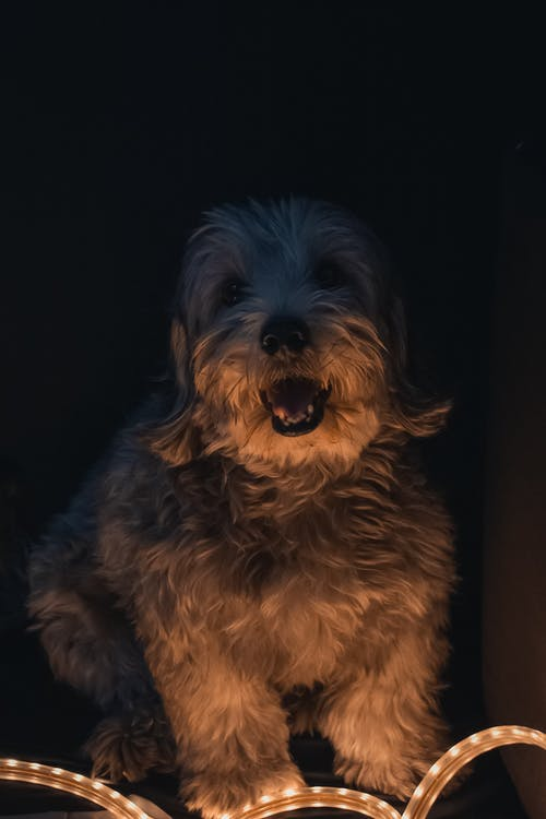 Funny Dandie Dinmont Terrier dog sitting on floor near light with mouth opened in dark room