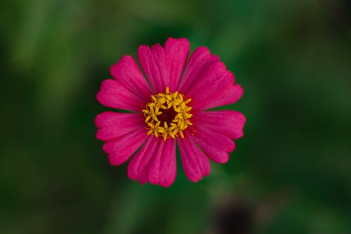 Bright pink petals of flower in nature