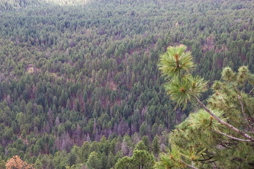 Free stock photo of forest, pine forest, pine trees, trees