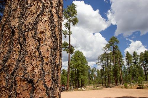 Free stock photo of pine trees, ponderosa pine