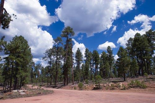 Free stock photo of blue skies, blue sky, clouds, ponderosa pine