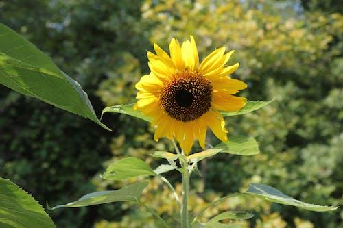 Free stock photo of sunflower, sunflower field