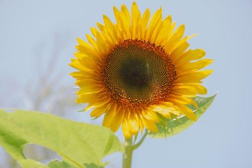 Free stock photo of sunflower, sunflowers