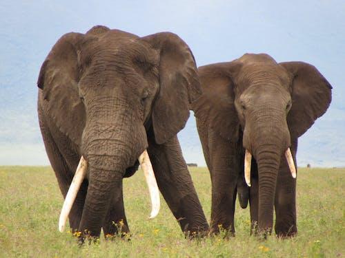 คลังภาพถ่ายฟรี ของ การถ่ายภาพสัตว์, งาช้าง, ช้างแอฟริกา