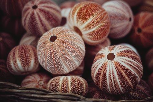 คลังภาพถ่ายฟรี ของ echinoidea, กระดูกสันหลัง, กอง, การตกแต่ง