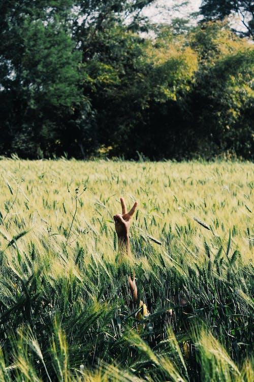 Ilmainen kuvapankkikuva tunnisteilla heinäpelto, käsi, kasvu, kenttä