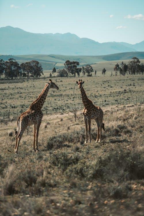 Giraffe Standing on Brown Grass Field