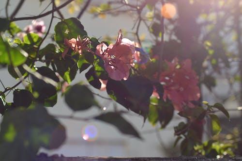 #花, ピンク, ピンクの花, 光の反射の無料の写真素材