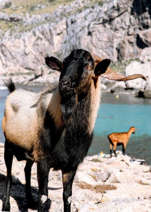 Goat Standing on Gray Rock