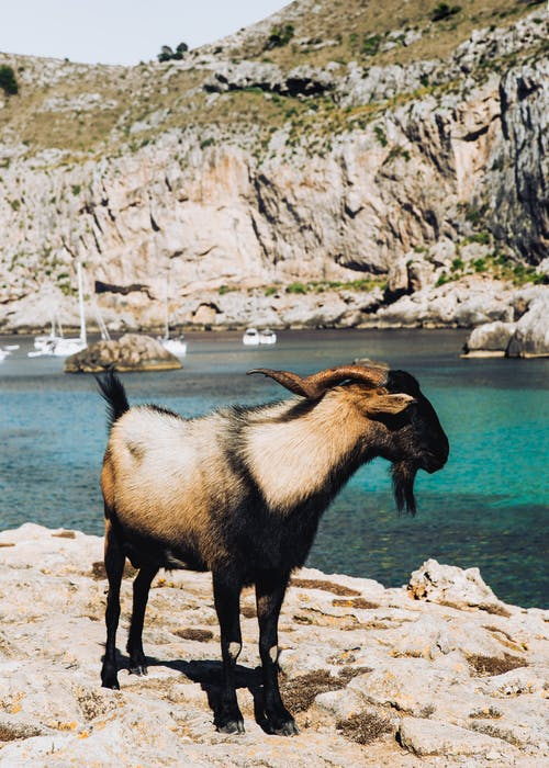 Goat Standing on Rocky Shore