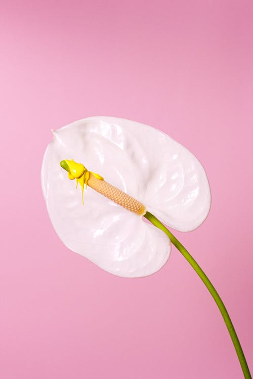Tender white flamingo lily flower on thin stalk blossoming against pink background in studio