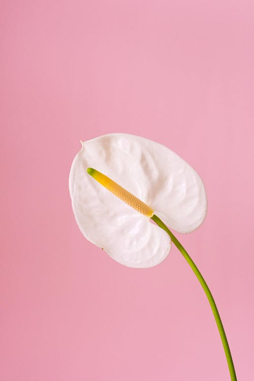 Tender fragrant flamingo lily flower with white bud growing against pink background in light modern studio