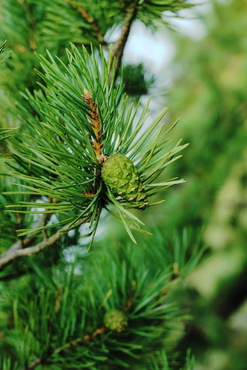 Small green cone growing on young pine tree at daytime against blurred background