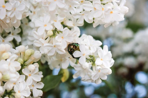 Rose chafer sitting on branch of Syringa with white blooming flowers at daytime