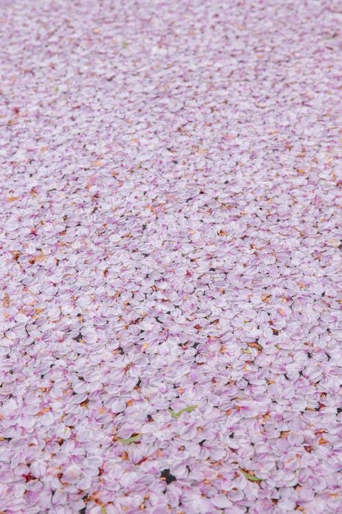 Textured background of bright cherry blossom tree flowers on walkway