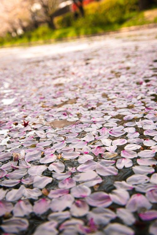 Walkway with bright delicate sakura tree flowers in daylight