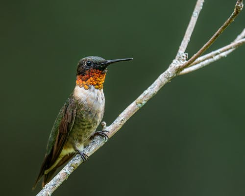 Small ruby throated hummingbird with long beak and red and brown feathers with white spots sitting on thick leafless twig in daylight in nature