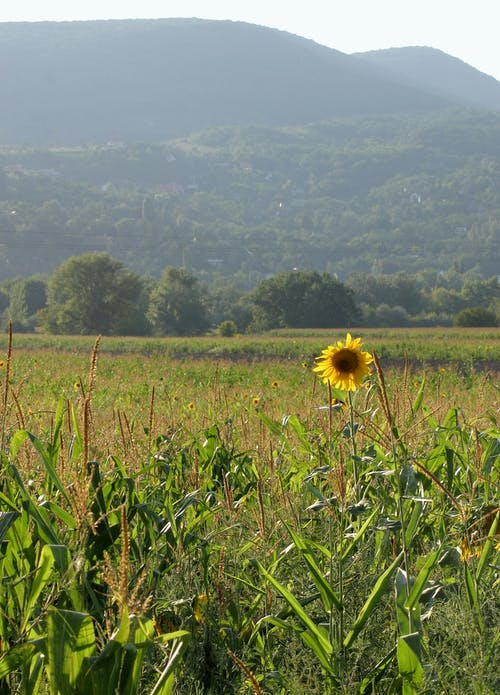 Kostnadsfri bild av äng, gul, landskap