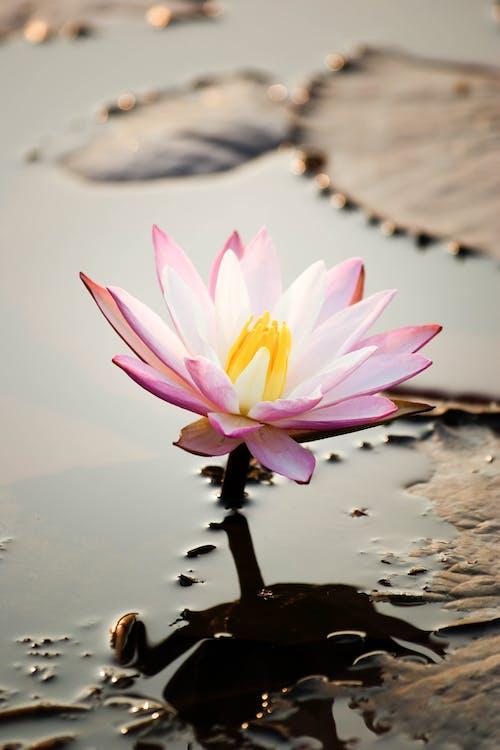 Immagine gratuita di acqua, fiore, fiore di loto