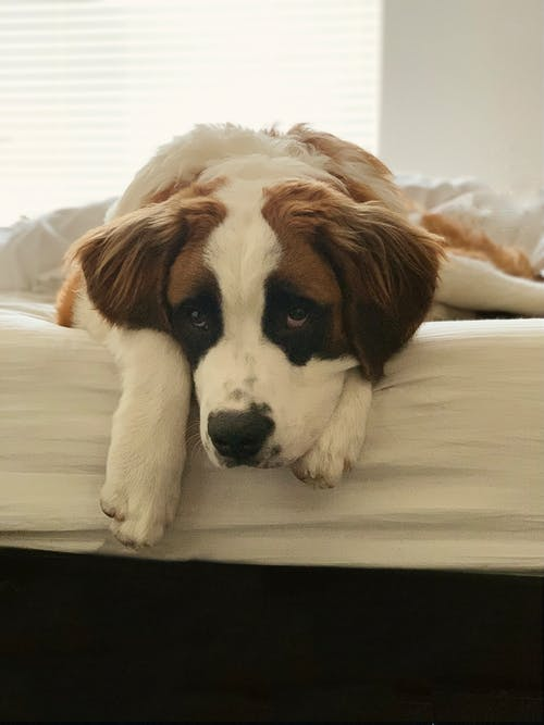 Brown and White Saint Bernard Lying on White Bed