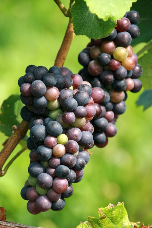 A Cluster of Grapes on a Vine
