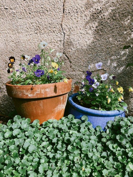Viola tricolor in pots on lawn in sunlight