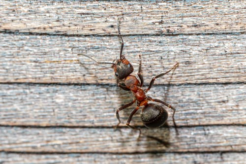 Black Ant on White Wooden Surface