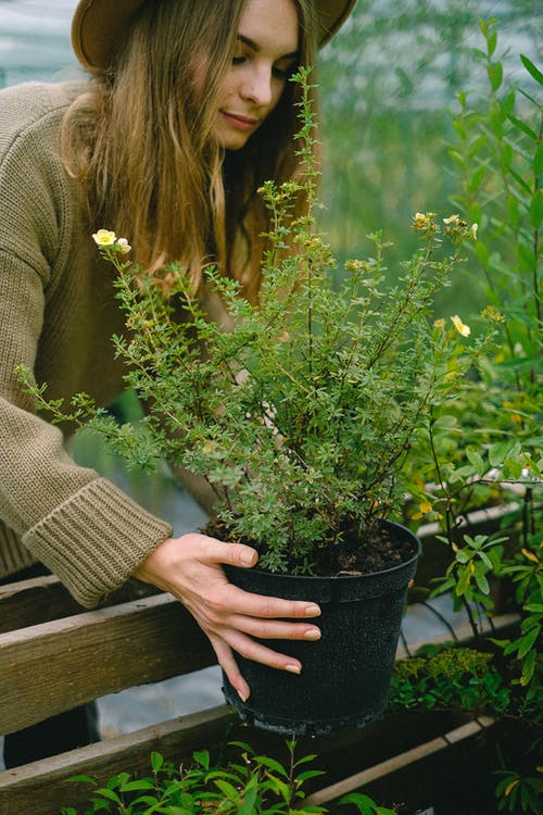 Crop positive female gardener in sweater and hat putting lush green potted plant on wooden bench in hothouse