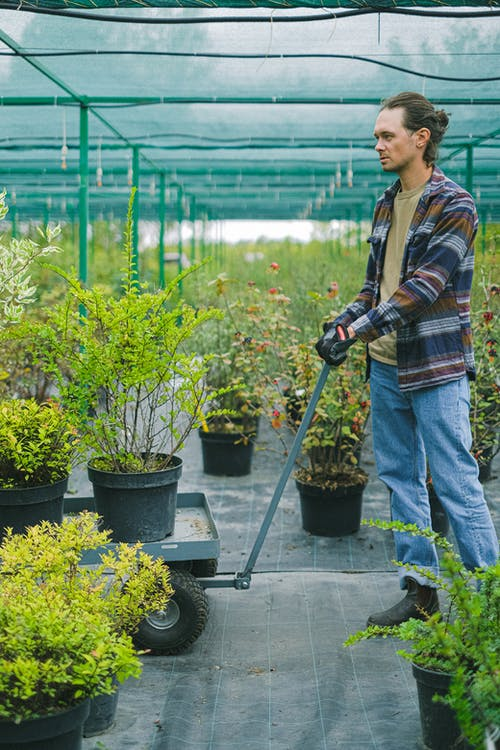 Male gardener pushing wheelbarrow with potted plants in greenhouse