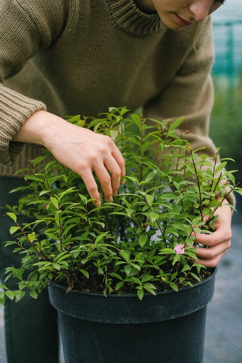Crop woman taking care of potted plant with green foliage while working in hothouse