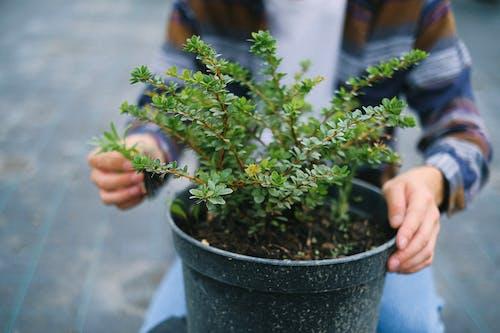 Gardener sitting near potted bush in greenhouse