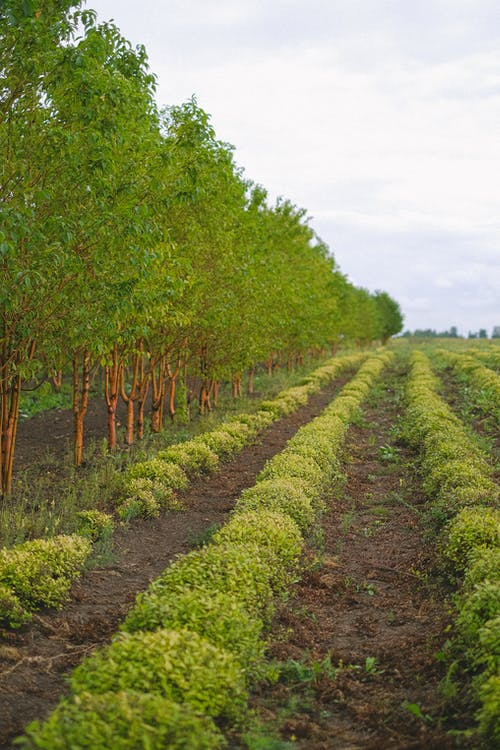Plantation with long rows of crops