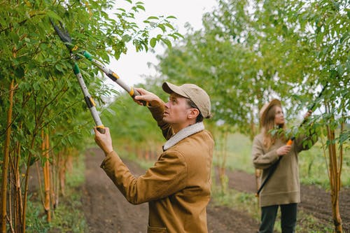 Focused farmers with secateurs and pole pruner cutting twigs on trees growing in rows in plantation