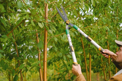 Side view of farmer with pruning shear trimming branches of tree with green leaves in orchard