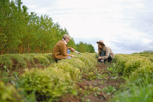 Ground level side view of woman and man with secateurs squatting near green bushes with tools while working on farm