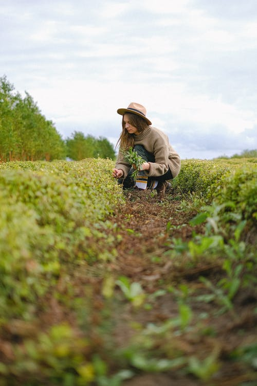 Ground level perspective view of female gardener picking sprouts of green plant while working on agricultural field in countryside during harvest season