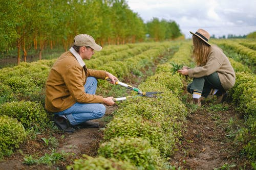 Side view full body of woman and man with pruner cutting green bushes while working in agricultural field during harvest season