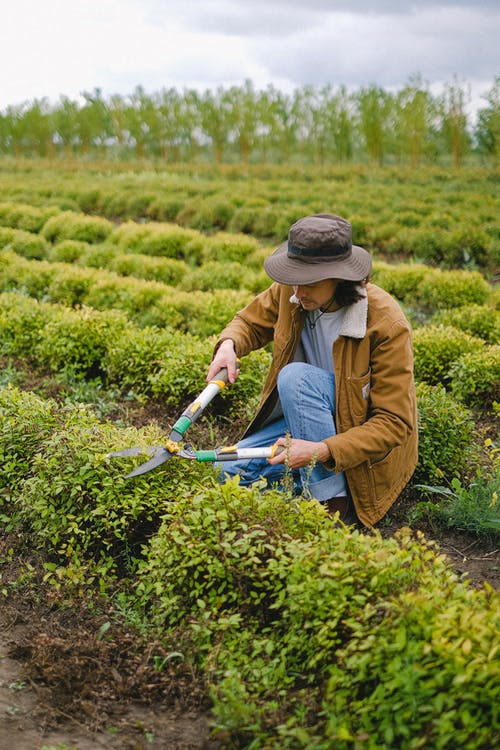Man with pruner cultivating green plant