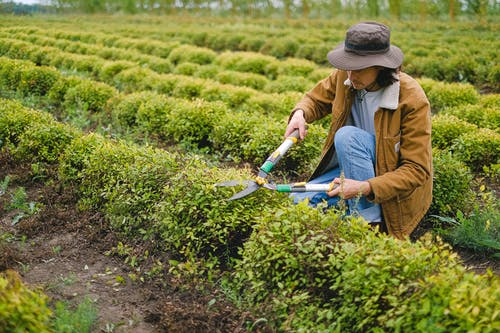 Side view of male gardener wearing hat squatting at green plant with pruner shear while cutting leaves of bush on plantation