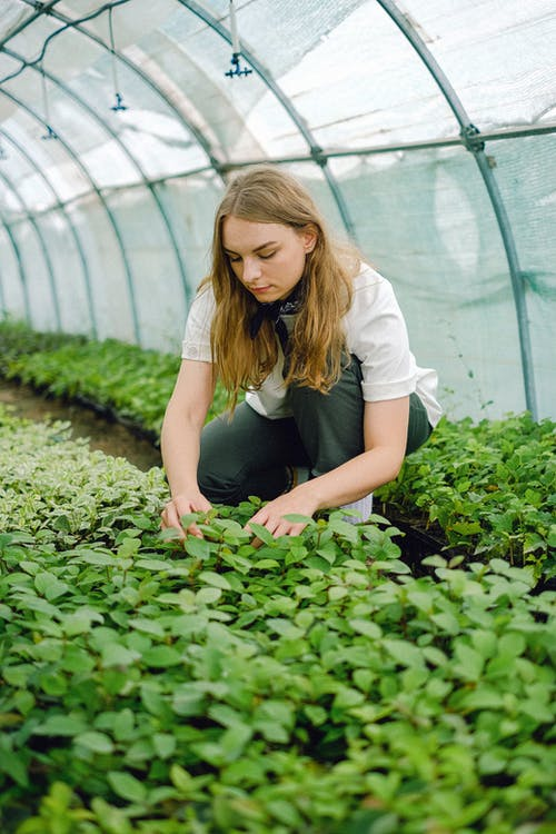 Full body of woman checking foliage of plants sprouts growing in agricultural complex