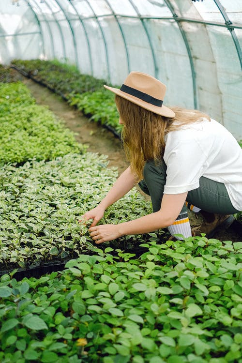 Farm worker planting seedling in greenhouse