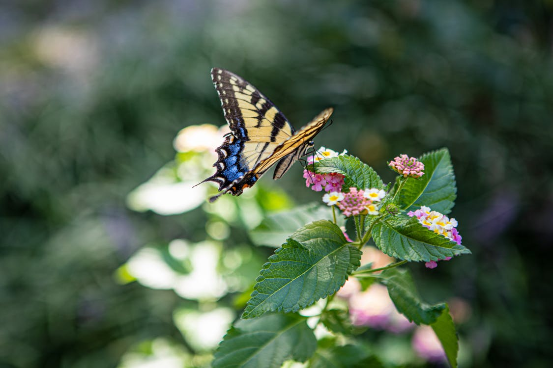 Tiger Swallowtail Butterfly Perched on Pink Flower in Close Up Photography