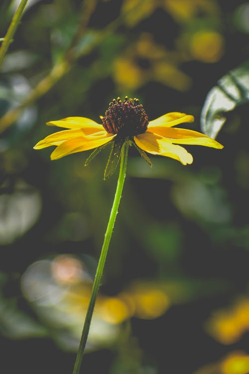 Bright yellow rudbeckia flower in sunny nature