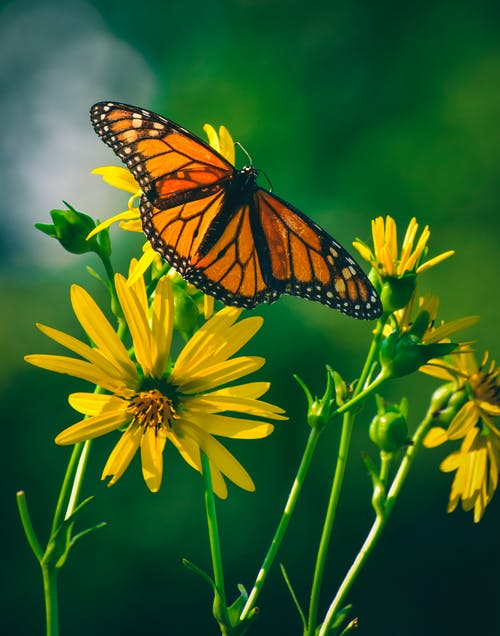Beautiful monarch butterfly with vivid orange wings sitting on bright yellow flowers in lush green garden